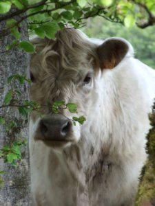 Vache haut languedoc galloway