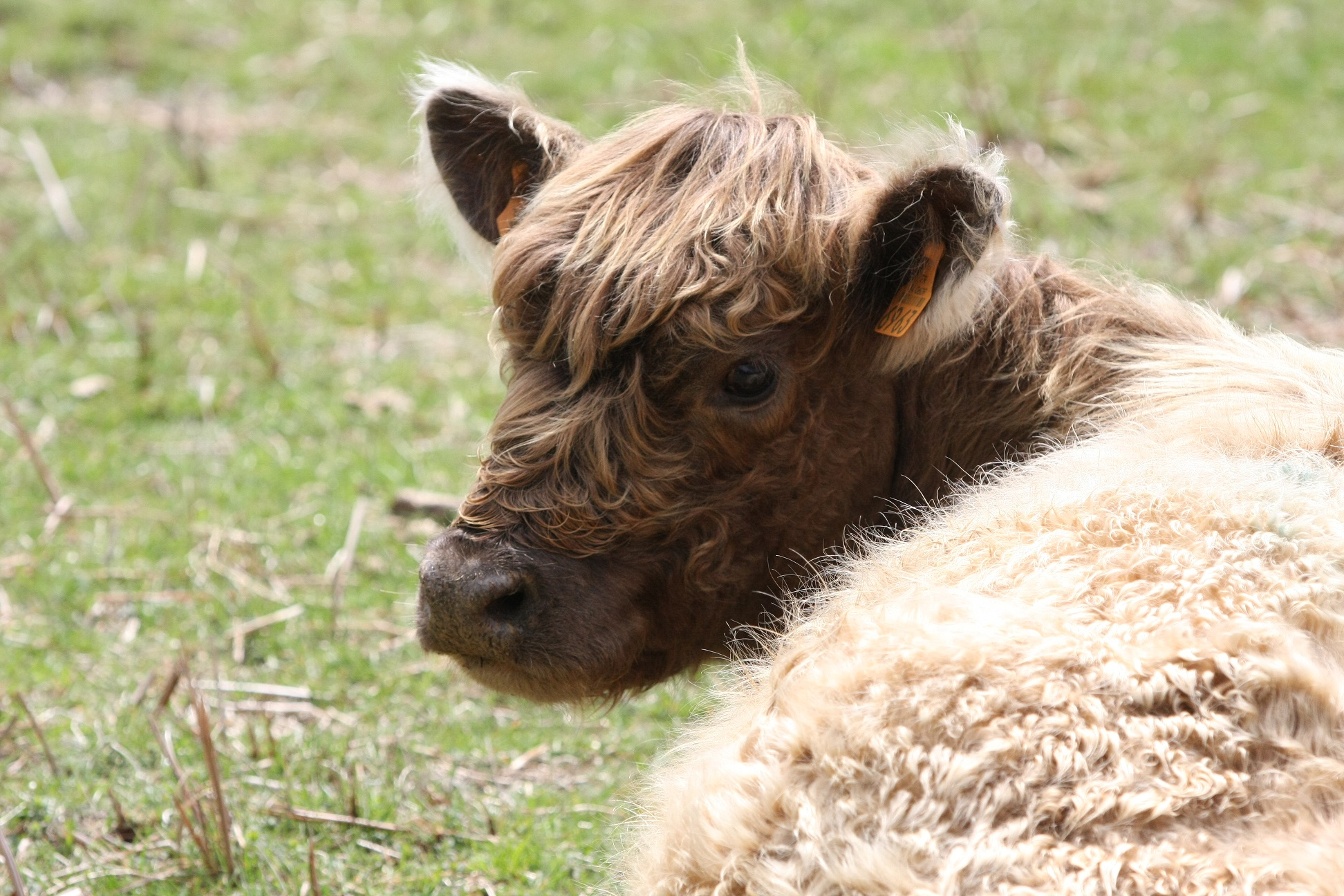 vache galloway les signoles
